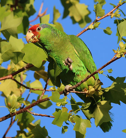 red-crowned-parrot_006_spring_california