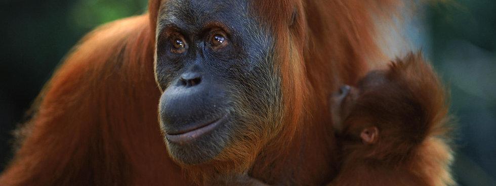 sumatran_orangutan_8.6.2012_Hero_and_Cir