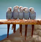 Young-Spixs-Macaws-at-ACTP-1-1025x1024_e