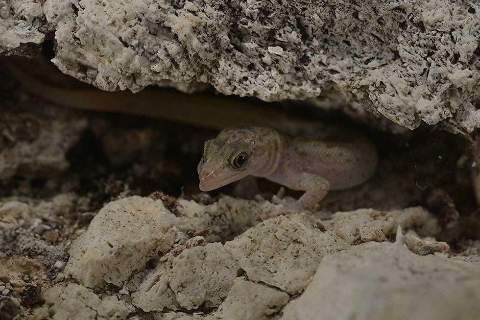 monito-gecko.jpg