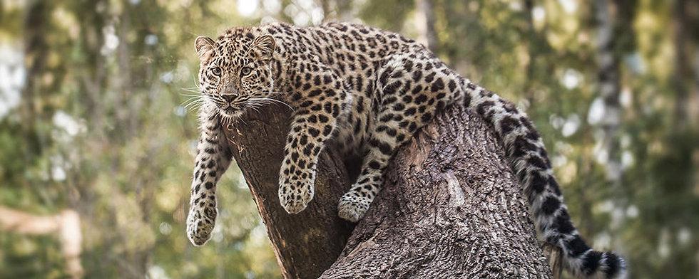 amur-leopard-ARTICLE-PAGE.jpg