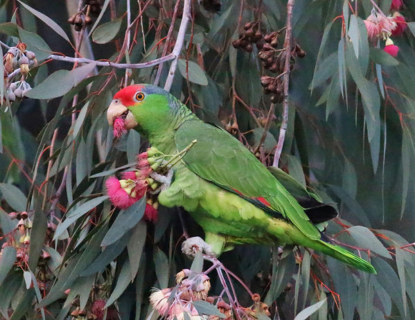 red-crowned-parrot_004_spring_california