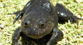 Hall's Water Frog