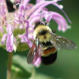 rusty-patched-bumble-bee-01.jpg
