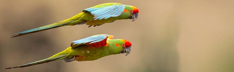 Red-fronted-Macaws_Paul-B-Jones.jpg