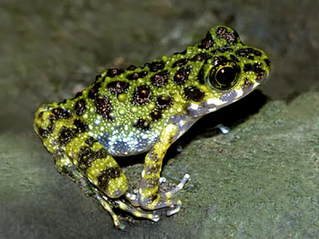 Ishikawa's Frog
