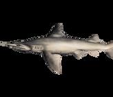 Daggernose Shark