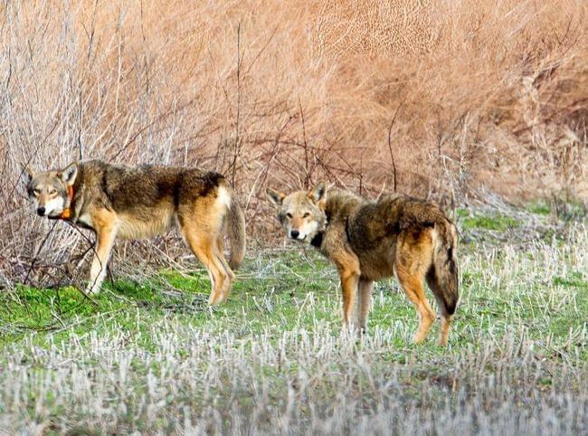 red-wolves-in-north-carolina.jpg