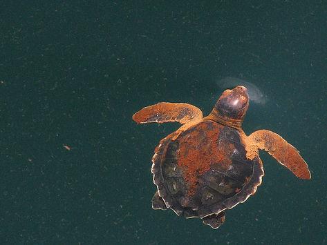 kemp-turtle960.jpg