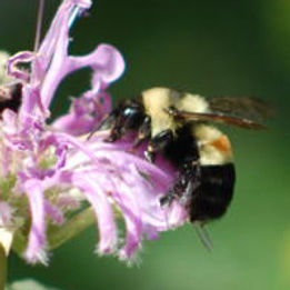 rusty-patched-bumble-bee-02.jpg
