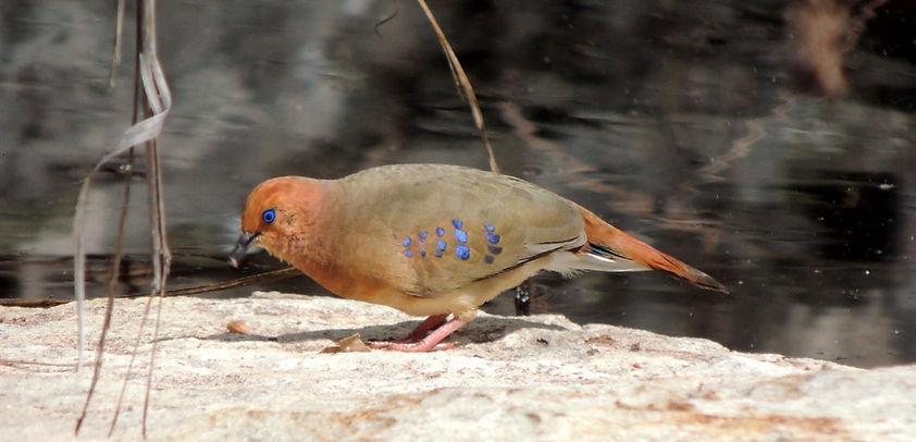blue-eyed_ground_dove_website.jpg