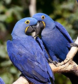 hyacinth_macaws__large.jpg