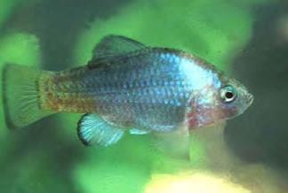 Desert Pupfish