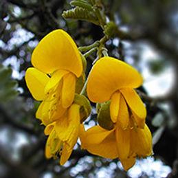 mamaneflower.jpg