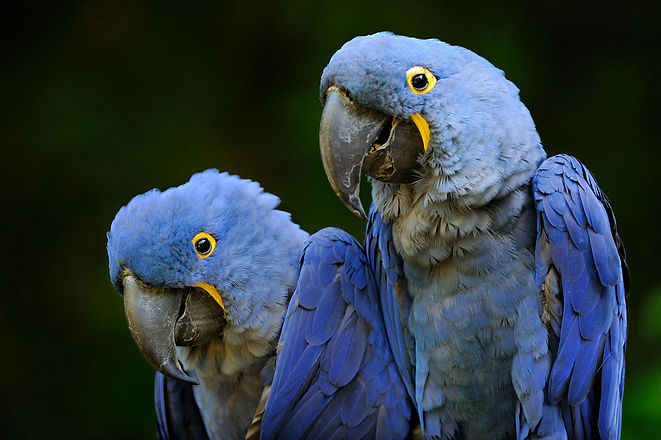 captive-macaws-01210005.adapt.1900.1.jpg