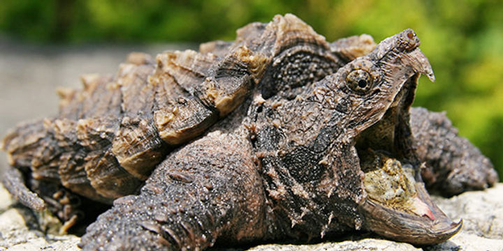 reptile_alligator-snapping-turtle_600x30