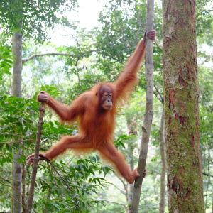 semi-wild-orangutan-in-bukit-lawang-nort