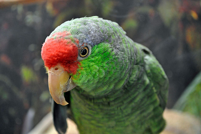 red-crowned-parrot_003_winter_illinois_h