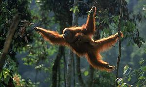 Sumatran_Orangutan_8.6.2012_What_WWF_Is_