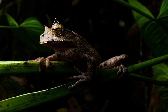 true-wildlife-ishikawa's frog-3-1.jpg
