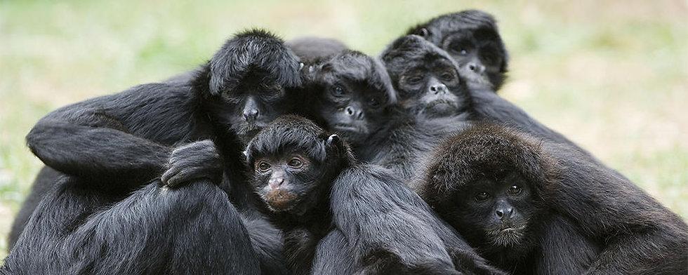 black-spider-monkey-ARTICLE-PAGE.jpg