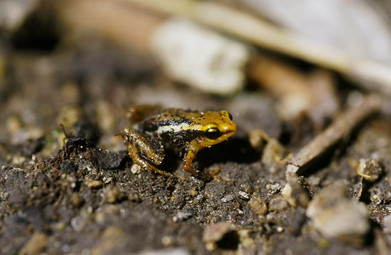Baracoa Dwarf Frog