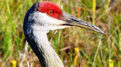 Mississippi Sandhill Crane