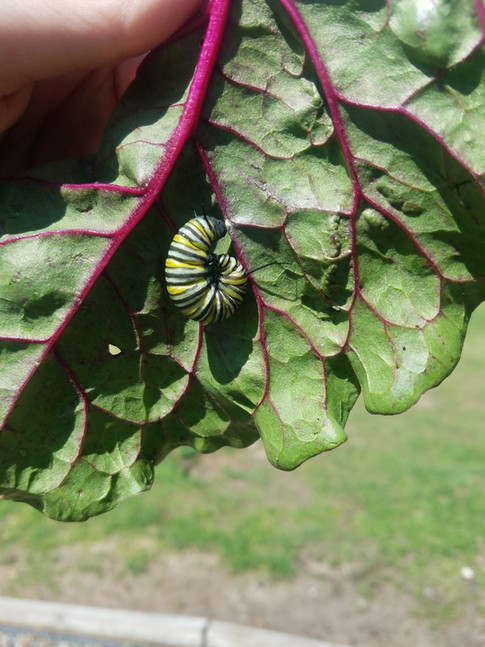 Even the Monarch caterpillars like the Swiss Chard! #allnatural