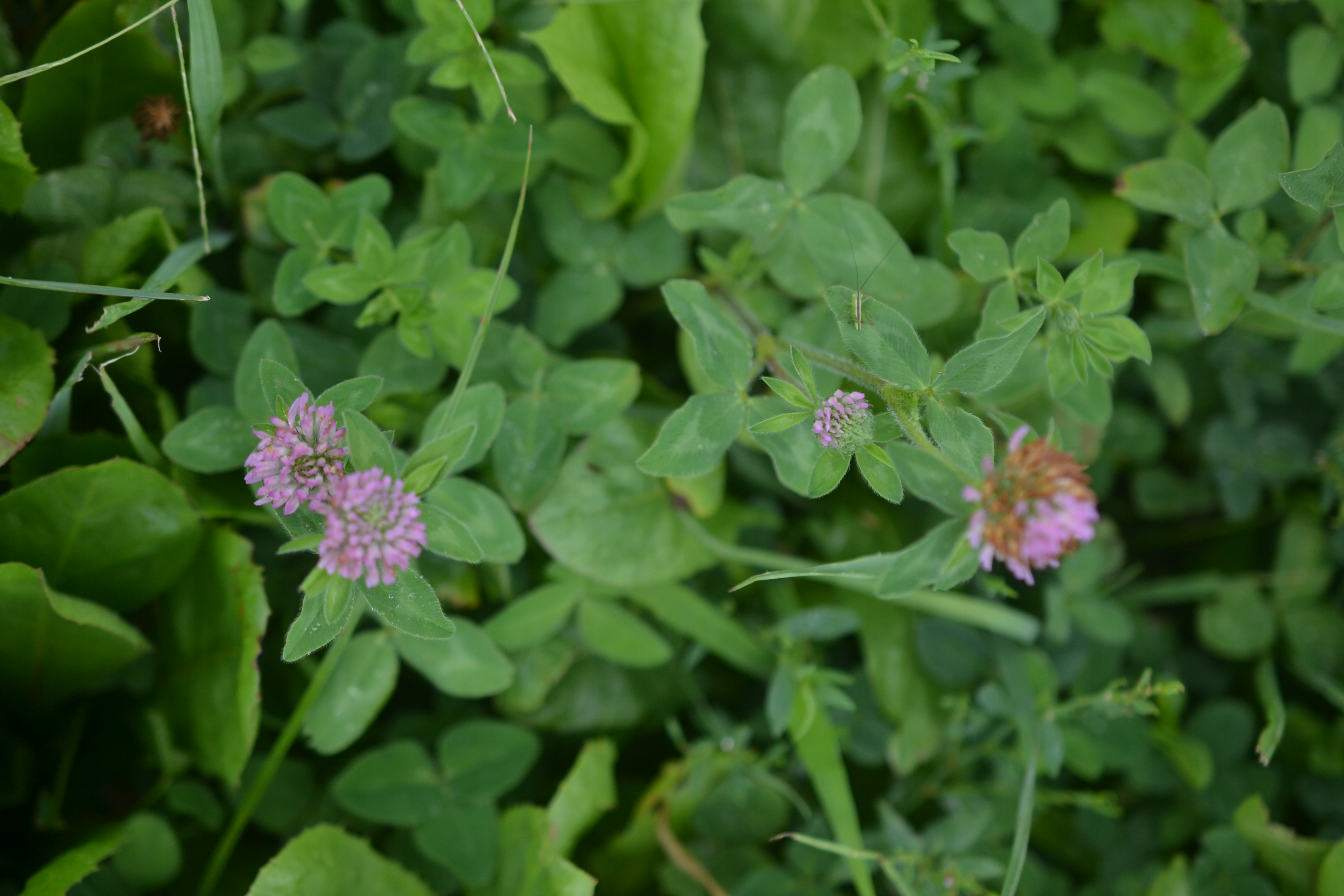 clover and chicory
