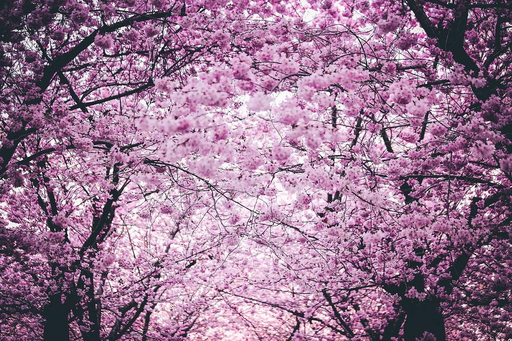 spring blossom flowers in Korea