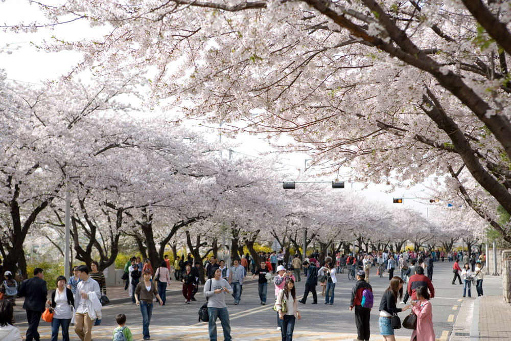 people walking on youido spring cherry blossom festival in korea