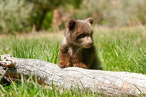 Saving orphaned grizzly cubs