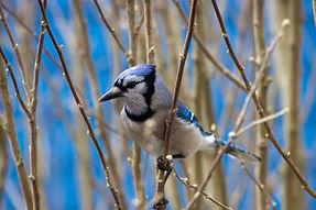 Canada's voice for birds