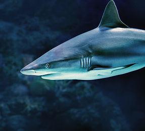 Tracking Canada's sharks