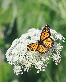 Protecting monarch habitats