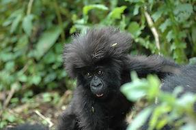 Gorilla habitat in Rawanda