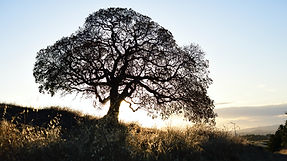 Preserving black walnut trees