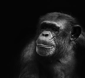 Caring for chimpanzees