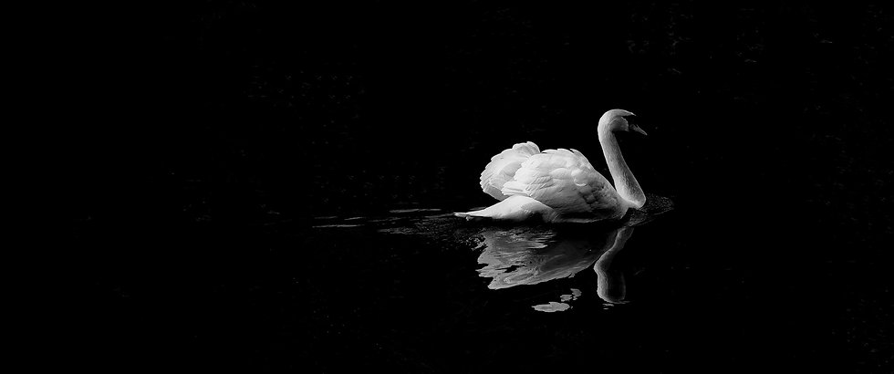 mute%20swan%20in%20low%20light%20photogr