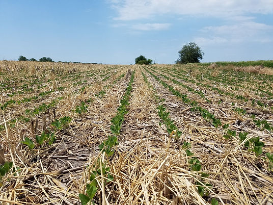 Beans planted into Stubble.jpg