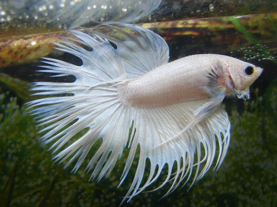White Crowntail Betta