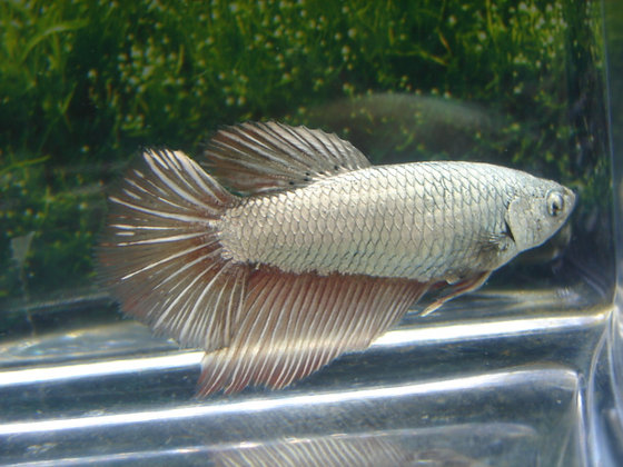 Silver Halfmoon Female Betta