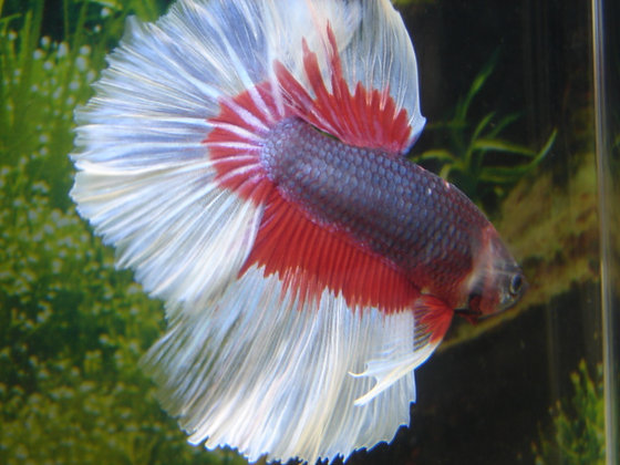 Blue Red Halfmoon Betta