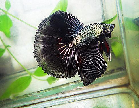 Metallic Black Halfmoon Betta Pair!@!