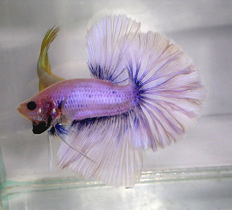 Sky Blue Halfmoon Betta