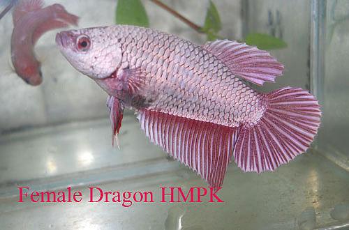 Red Dragon Halfmoon Plakat Female Betta
