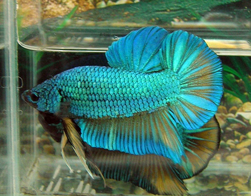Giant Bettas for sale