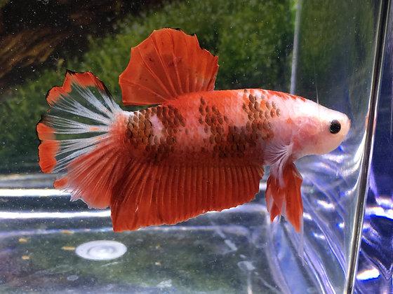 Red Samurai Halfmoon Plakat Betta