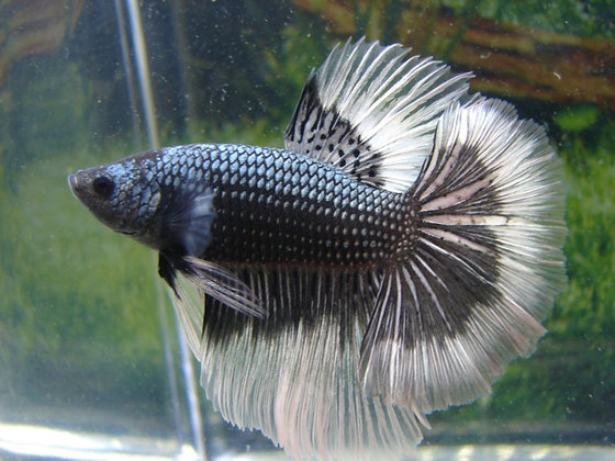 Black Hawk Halfmoon Betta