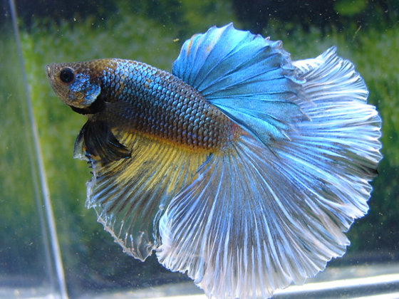 Green Hornet Halfmoon Betta